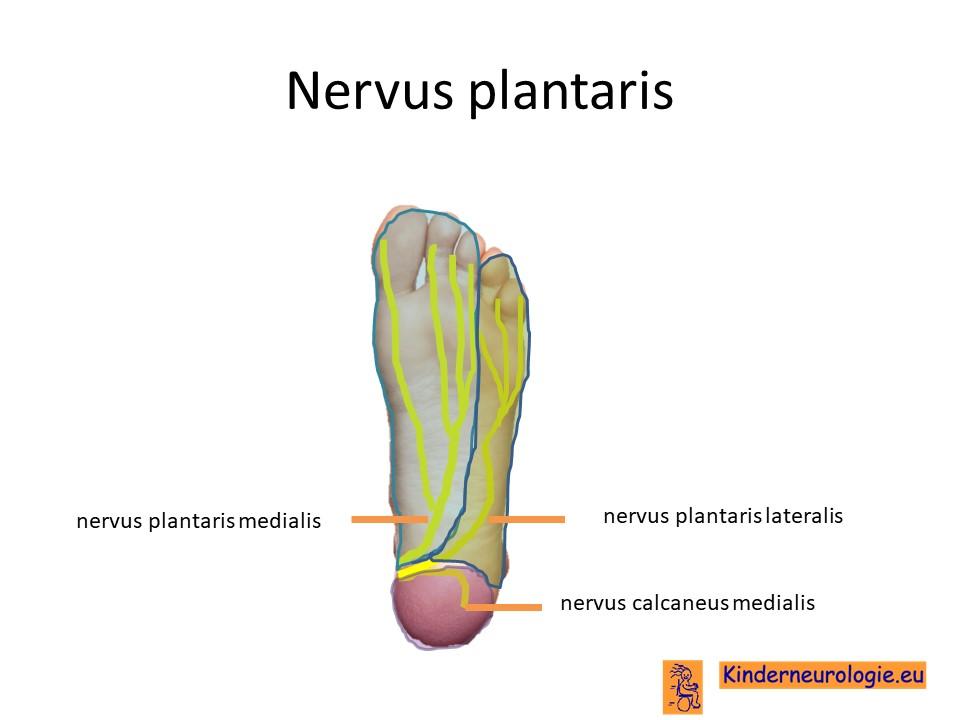 Charmant Plantaris Muskelanatomie Fotos - Anatomie Von Menschlichen ...