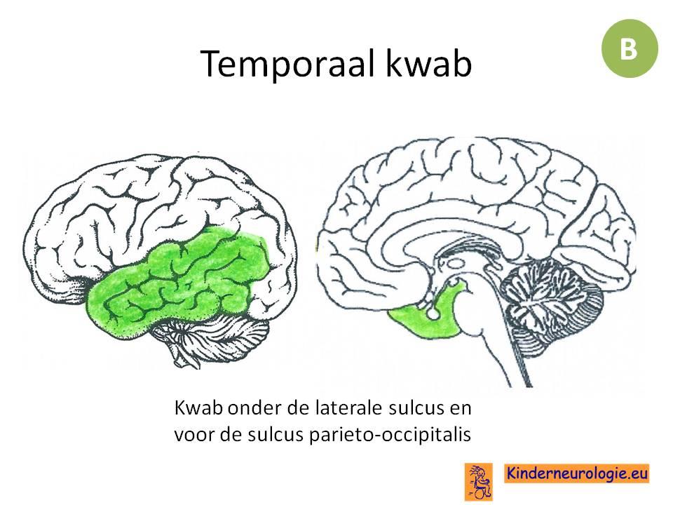 wat regelen de kleine hersenen