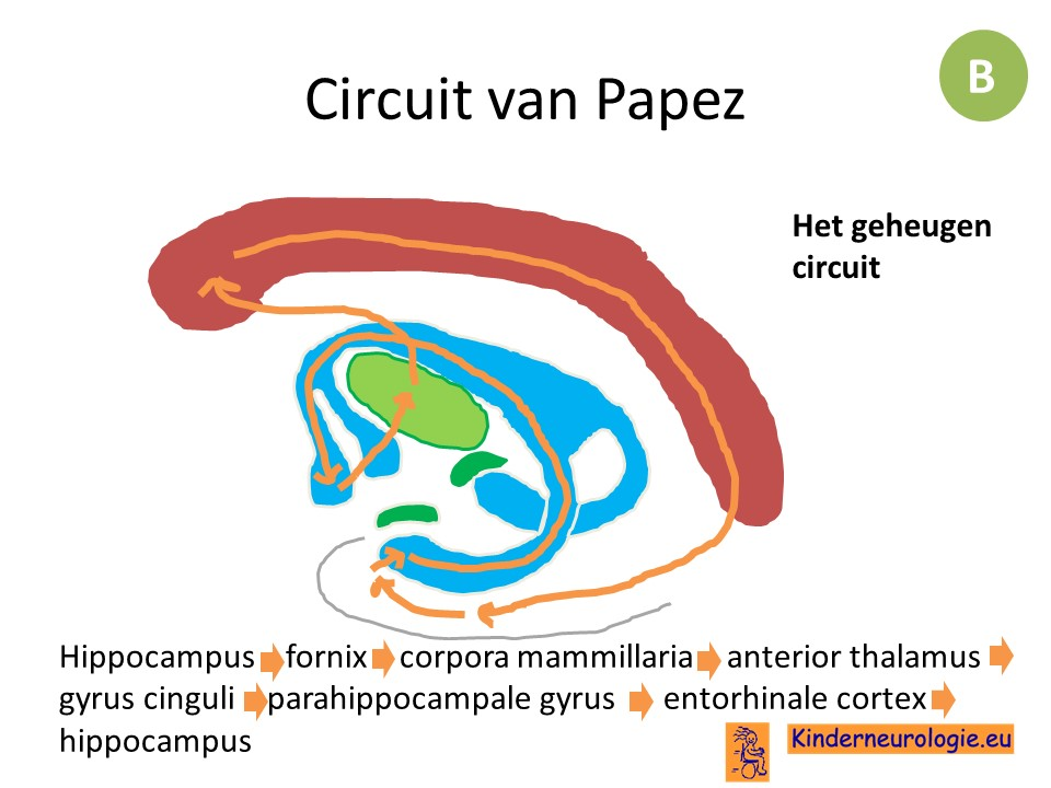 Erfreut Gyrus Cinguli Bilder - Menschliche Anatomie Bilder ...